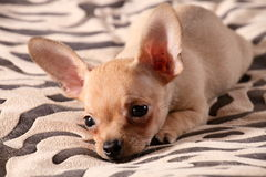 Little chihuahua lays on a coverlet. Little chihuahua at the age of 3 months with long ears Royalty Free Stock Photos