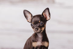 Little chihuahua puppy dog Stock Photos