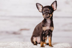Little chihuahua puppy dog Royalty Free Stock Images