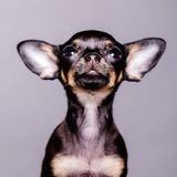 Little chihuahua puppy dog Stock Photo