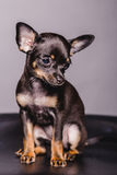 Little chihuahua puppy dog Royalty Free Stock Image
