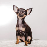 Little chihuahua puppy dog Stock Image