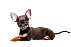 Little chihuahua puppy dog Royalty Free Stock Photos