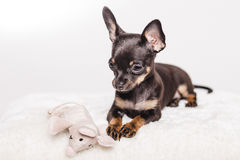 Little chihuahua puppy dog Royalty Free Stock Photography