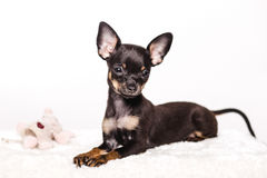 Little chihuahua puppy dog Stock Images