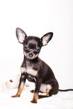 Little chihuahua puppy dog Stock Photography