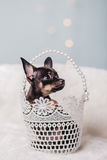 Little chihuahua puppy dog Royalty Free Stock Photo
