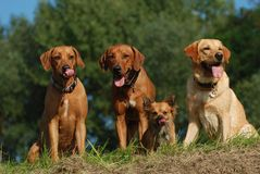 Little chihuahua and three big dogs. Chihuahua, Rhodesian Ridgebacks and Labrador Retriever together Royalty Free Stock Images