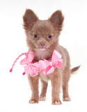 Little Chihuhua female dog Stock Photography