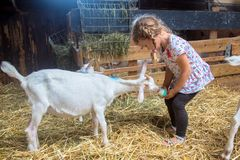 Little child feeds a goat with milk from a bottle. stock photos