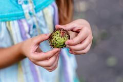Little child hands with chestnut royalty free stock image