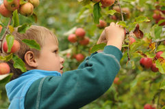 Little child picking apples stock photo