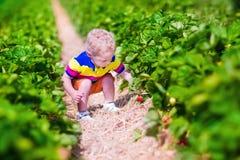 Little child picking fresh strawberry on a farm Stock Image