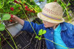 Little child picking strawberries. In a greenhouse Stock Photos