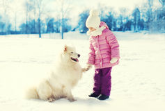 Little child playing with white Samoyed dog on snow in winter Stock Image