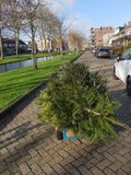 Little child is collecting old christmas trees with his skelter which collected by municipality of Zuidplas. Little child is searching old christmas trees with stock photo