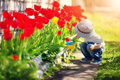 Little child walking near tulips on the flower bed in beautiful spring day. Baby boy outdoors in the garden with watering can royalty free stock photos