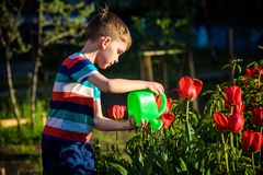 Little child walking near tulips on the flower bed in beautiful spring day. Kid boy outdoors in the garden with watering can royalty free stock photography