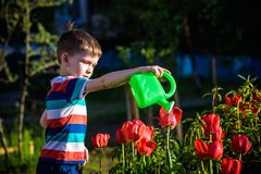 Little child walking near tulips on the flower bed in beautiful spring day. Kid boy outdoors in the garden with watering can.  royalty free stock photo