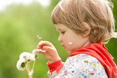 Little child with  white dandelions Royalty Free Stock Image
