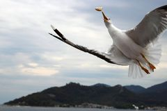 Seagull catching a piece of bread in flight royalty free stock photos