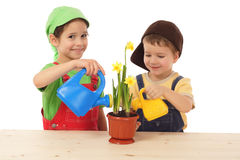 Little children caring for potted narcissus. Isolated on white Royalty Free Stock Image