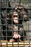 A little chimpanzee. Contemplating life behind bars in a big city zoo Stock Image