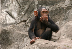 Little Chimpanzee. A little chimpanzee (Pan troglodytes) at Dusit Zoo in Bangkok, Thailand stock photo