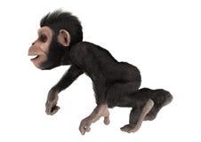 Little Chimpanzee Royalty Free Stock Image