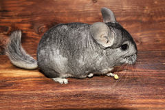 Little Chinchilla on a wood background Stock Images