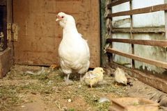 Little chinese downy chickens with mother hen royalty free stock photo