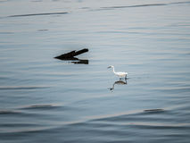 Little Chinese egret bird walking  in natural Stock Image
