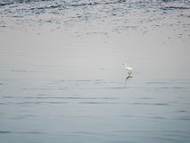 Little Chinese egret bird walking  in natural Royalty Free Stock Image