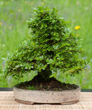 Little chinese elm as bonsai tree Stock Image
