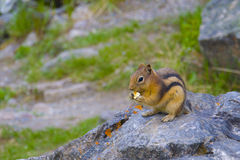 Little chipmunk Royalty Free Stock Photo