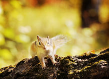 Little chipmunk in an autumn forest Royalty Free Stock Image