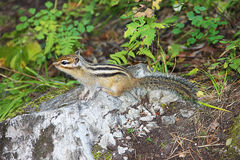 Little chipmunk with black stripes on the back in green grass Stock Photography