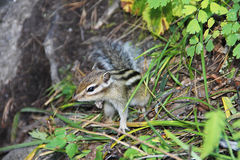 Little chipmunk with black stripes on the back in green grass Stock Photos