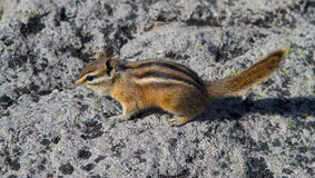 Little chipmunk Royalty Free Stock Image