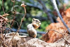 Little chipmunk on rock enjoying a snack. Chipmunk on a rock with twigs and branches. Trees and shrubs in the background. He is enjoying a snack. He also might royalty free stock photos