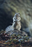 Little chipmunk standing on fallen tree and eating Royalty Free Stock Photo