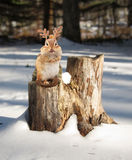 Little chipmunk wearing reindeer antlers Stock Photo