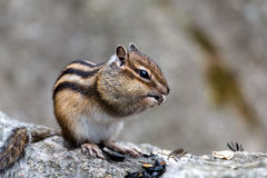 Little chipmunk in the wood Royalty Free Stock Photography