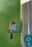 A little chipping sparrow. A small chipping sparrow on a bird feeder looks at the feeder Stock Photo