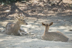 A little Chital Deer Royalty Free Stock Photos