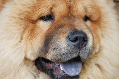 Little chow-chow Stock Images