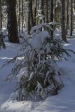 Little Christmas tree in the forest in winter stock photo