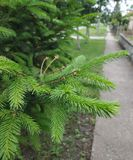Little Christmas tree near my house. Amazing green colors. royalty free stock photos
