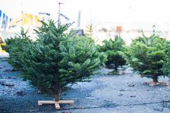 Little Christmas Tree ready to be purchased. Shopping for little Christmas trees in Geneva Switzerland Stock Photo