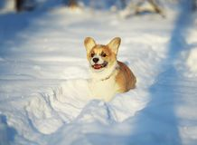 Cute little chubby red Corgi puppy is having fun in the white snow in the winter Park for a walk. Little chubby red Corgi puppy is having fun in the white snow stock images